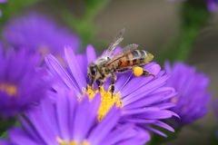Honey Bee. Carrying pollen on its hind leg Stock Image