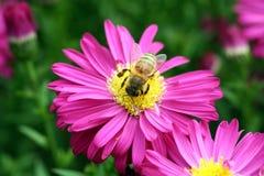 Honey Bee. On a pink daisy Stock Photos