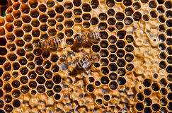 Honey bee. In its honeycomb Stock Image
