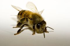 Honey Bee Stock Photo