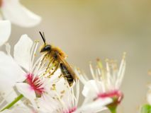 Honey bee. Collecting pollen from white flower Stock Image