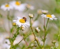 Honey Bee. Gathering pollen on a wild daisy Stock Photos