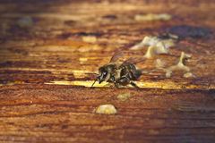 Honey bee. In its honeycomb Royalty Free Stock Photography