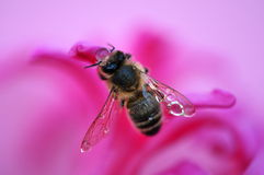 Honey bee. With water droplets on a pink flower Stock Images