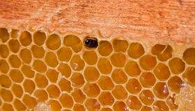 Honey bee. In its honeycomb Royalty Free Stock Images