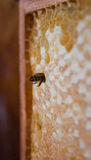 Honey bee. In its honeycomb Royalty Free Stock Photo