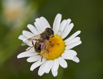 Honey Bee. A macro shot of a Honey Bee on a daisy flower Stock Images