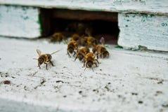 Honey bee. Macro of Honey Bee Royalty Free Stock Photos