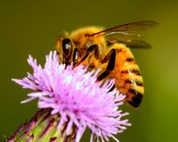 Honey Bee Imagem de Stock Royalty Free