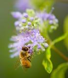 Honey Bee Imagen de archivo libre de regalías