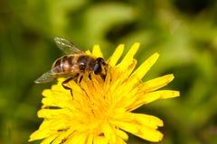 Honey Bee Fotografia Stock Libera da Diritti