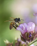 Honey Bee. Photograph of a bee pollinating a flower Stock Photography