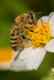 Honey Bee Stock Fotografie