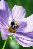 Honey Bee Lizenzfreie Stockfotos