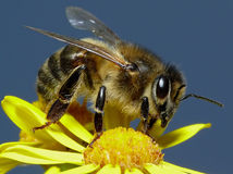 Honey bee. Where there are flowers there are bee's. This one is pose for me Royalty Free Stock Photos