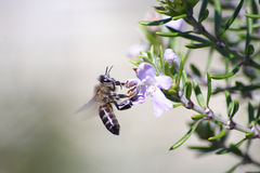 Honey bee. African honey bee landing on a Wystringia collecting nectar Royalty Free Stock Images