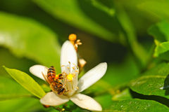 Honey Bee Royalty Free Stock Photography
