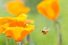 Free Honey Bee Royalty Free Stock Photography - 49238207