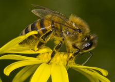 Honey-bee Stock Photo