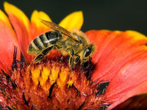 Honey-bee Stock Photography