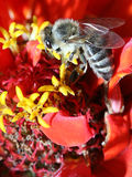Honey bee. Bee on a red flower Royalty Free Stock Photo
