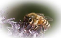 Honey Bee Royalty Free Stock Photos