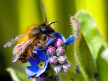 Honey bee. On blue flower Stock Photography