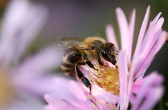 Honey Bee Photographie stock libre de droits
