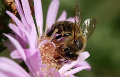 Honey Bee Photo libre de droits