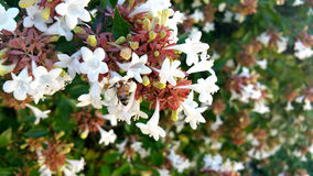 Close up of Honey Bee in an Abelia bush Stock Photo