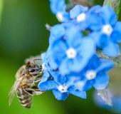 Honey bee on alkanet Royalty Free Stock Photo