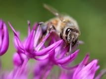 Honey Bee on Allium Stock Photos