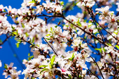 Honey bee on almond flowers on sky background. Macro Royalty Free Stock Photography
