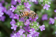 Honey Bee, Apis. I wanted to show this honey bee in the context of the lavender coloured thyme flowers on which it was feeding Stock Image