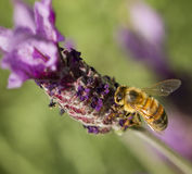 Honey Bee, Apis mellifera Stock Photography
