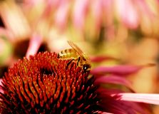 Honey Bee (Apis mellifera). Busy honey bee in colorful flower Stock Photo
