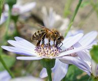 Honey Bee (Apis-mellifera) Stock Afbeeldingen