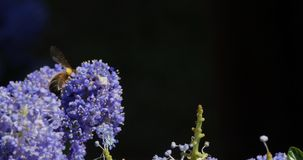 Honey Bee, apis mellifera, Adult in Flight, Flying to Flower with Pollen Baskets, Normandy, stock video footage