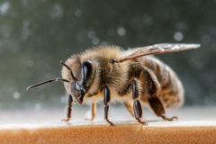 Honey bee apis mellifera carnica. Honey bee resting on shelf Stock Image