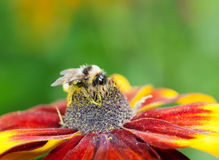 Honey bee (Apis mellifera) on cone flower Stock Photography