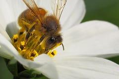 Honey Bee (Apis Mellifera) en el cosmos blanco Fotografía de archivo