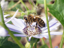 Honey Bee (Apis mellifera). A European honey bee feeding on a light purple flower Stock Photo
