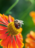 Honey bee (Apis mellifera) on helenium flower Stock Images