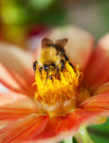 Honey Bee (Apis Mellifera) On Dahlia Flower Stock Photo