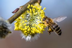 Honey bee Apis mellifera pollinating yellow flower of Goat Wil. Low Salix caprea. Beautiful macrophotography of nature in early spring Royalty Free Stock Photography