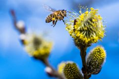 Honey bee Apis mellifera pollinating yellow flower of Goat Wil. Low Salix caprea. Beautiful macrophotography of nature in early spring. Flying bee Royalty Free Stock Image