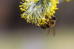 Honey bee Apis mellifera pollinating yellow flower of Goat Wil. Low Salix caprea. Beautiful macrophotography of nature in early spring Stock Photos