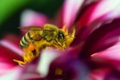 Honey bee Apis mellifera on white red dahlia. Royalty Free Stock Photo