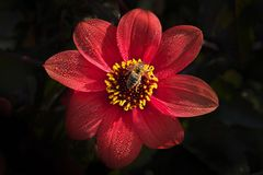 Honey bee Apis melliferaon on the bright dark red dahlia flower stock photography