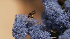 Honey Bee, apismellifera die, Volwassene tijdens de vlucht, aan Bloem met Stuifmeelmanden vliegen, Normandië, stock footage